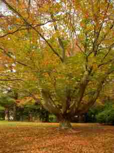 The Matriarch - the Carter Family Beech Tree