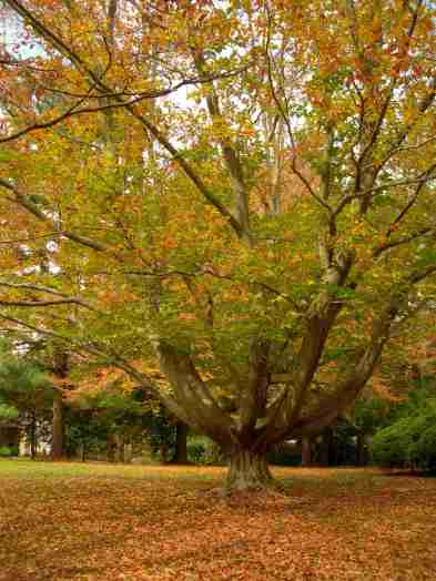 The Matriarch - the Carter Family Beech Tree