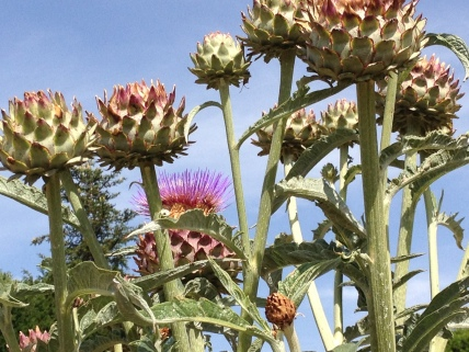 Photograph - Milk Thistles at Chateau de Bourgane, June 2014