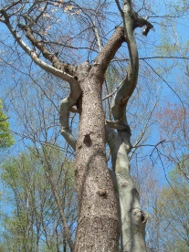 Dancing Trees, Lord Stirling Park, NJ - April 2012