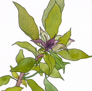 detail-Siam-Queen-Thai-Basil-ocimum-basilicum-herbs-ink-watercolor-drawings-chris-carter-artist-070513