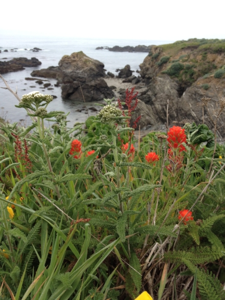 Photo of Indian Paintbrush, Sea Ranch, California 2014