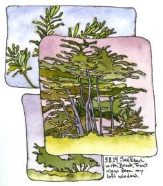 Trees, Sea Ranch, CA May 2014 - ink and watercolor sketchbook drawing